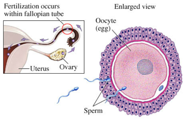 An anterior view of the female reproductive organs with a microscopic view of the ovulation process